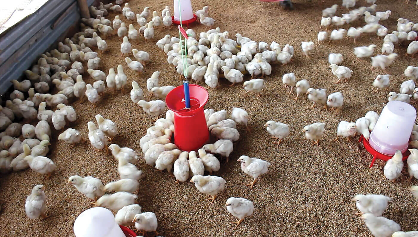 Nepali Times | Are you sick of chicken?