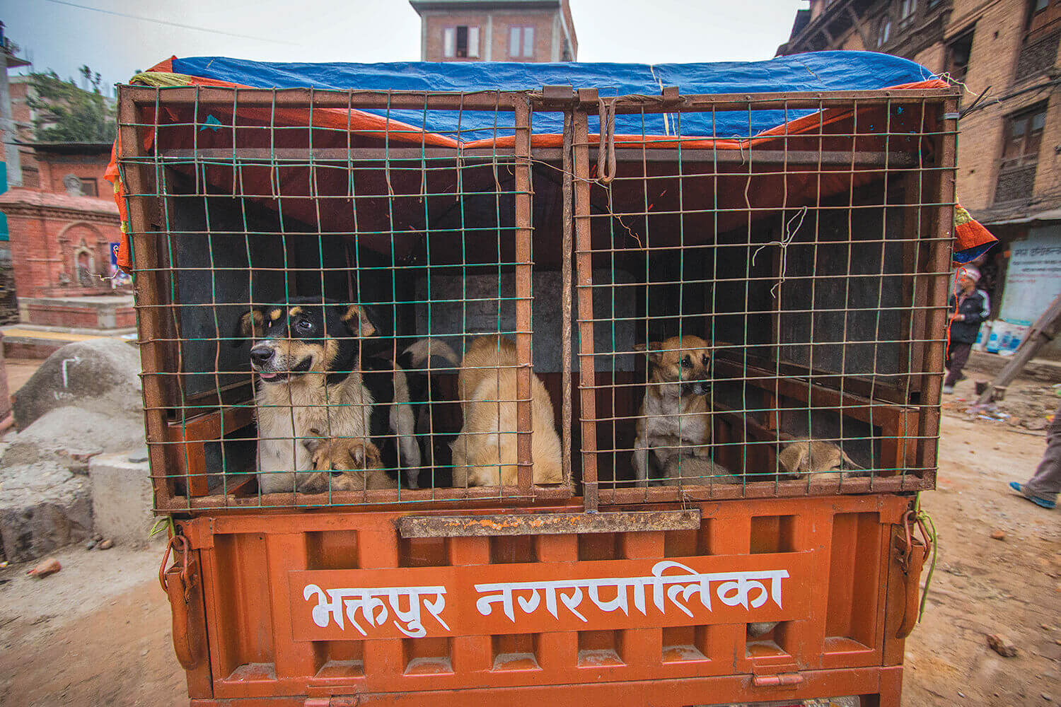 Bhaktapur's dog catchers