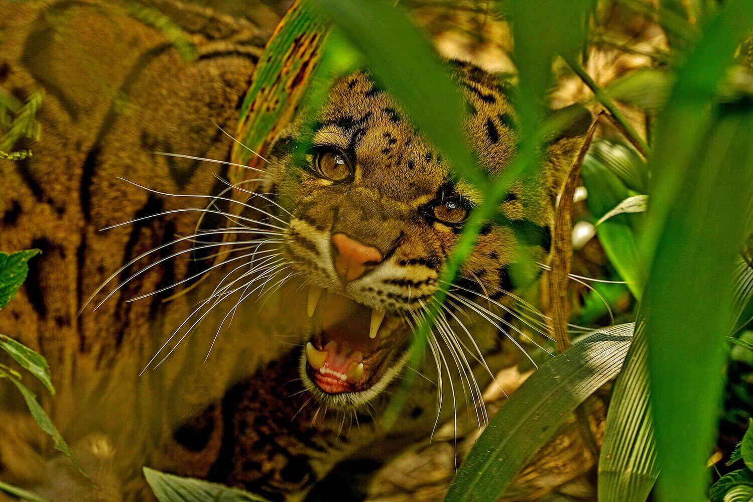 Clouded future for the Clouded Leopard