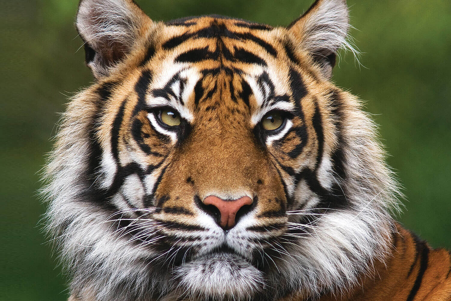 How many tigers in Nepal?