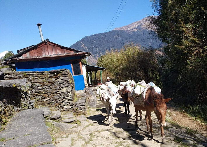 mules in Myagdi