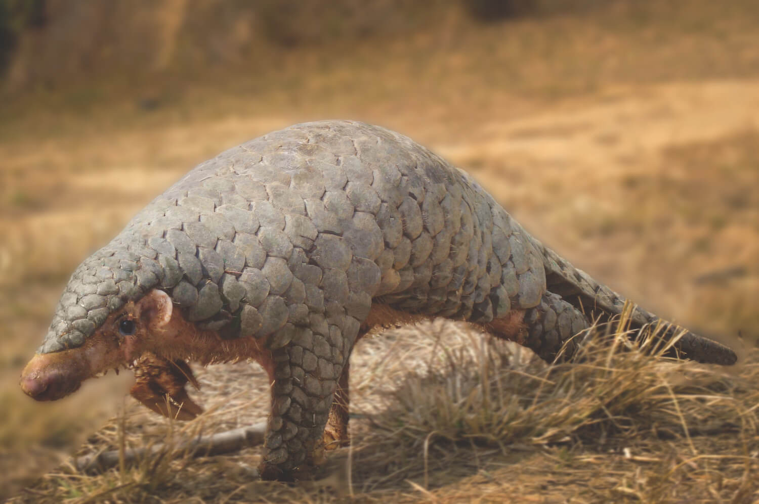 Protecting pangolins from being eaten to extinction