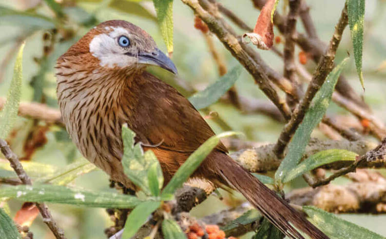Protecting the last home of the Spiny Babbler