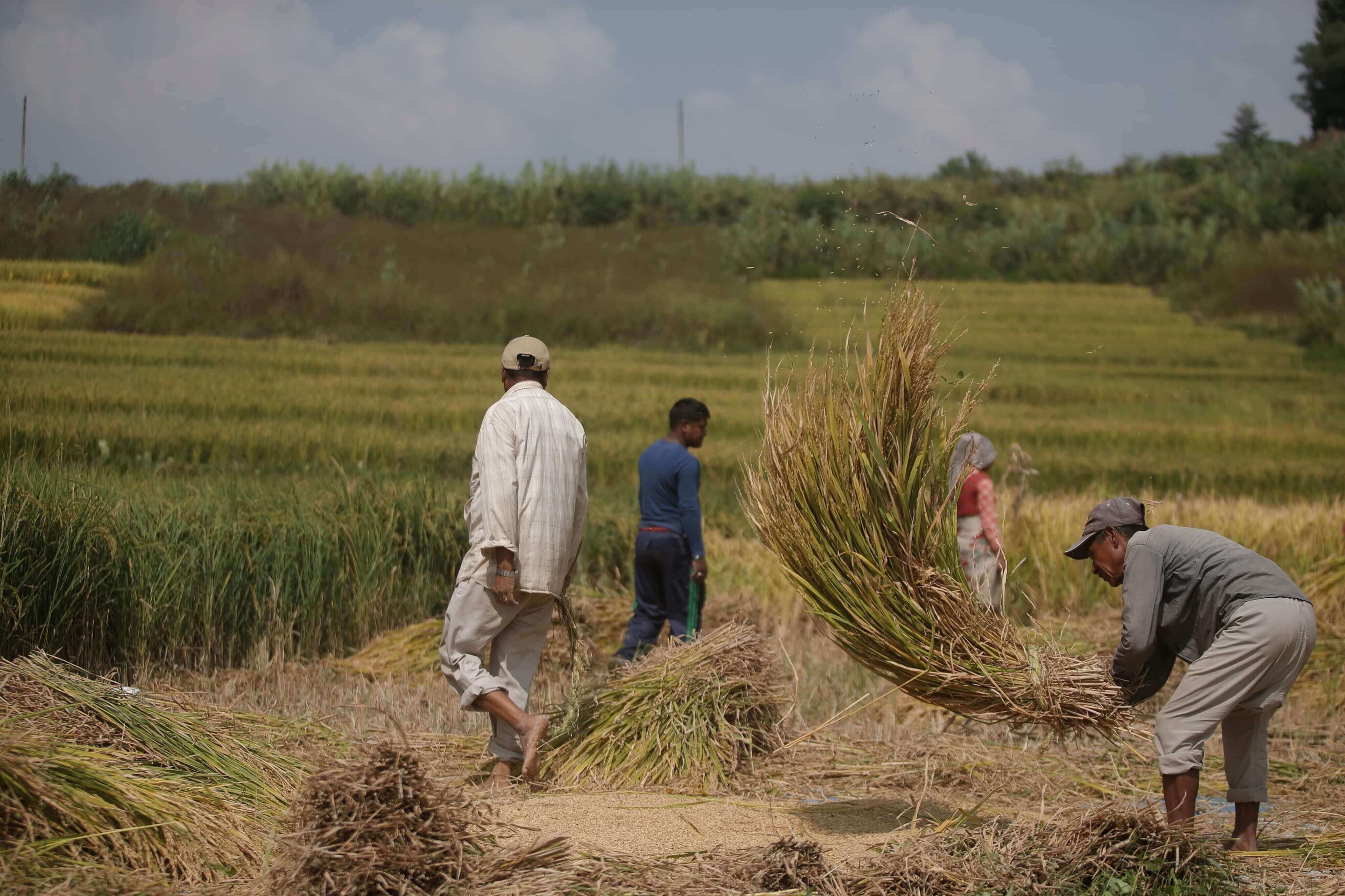 Farmers in Khokana harvest rice by hand, using traditional methods. Khokna on the outskirts of Kathmandu Valley still has much land dedicated to farming despite growing urbanisation.