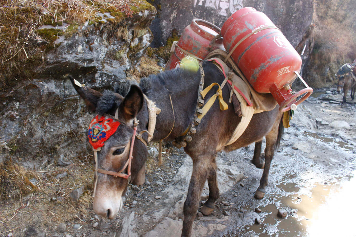 Too many mules on the Everest trail