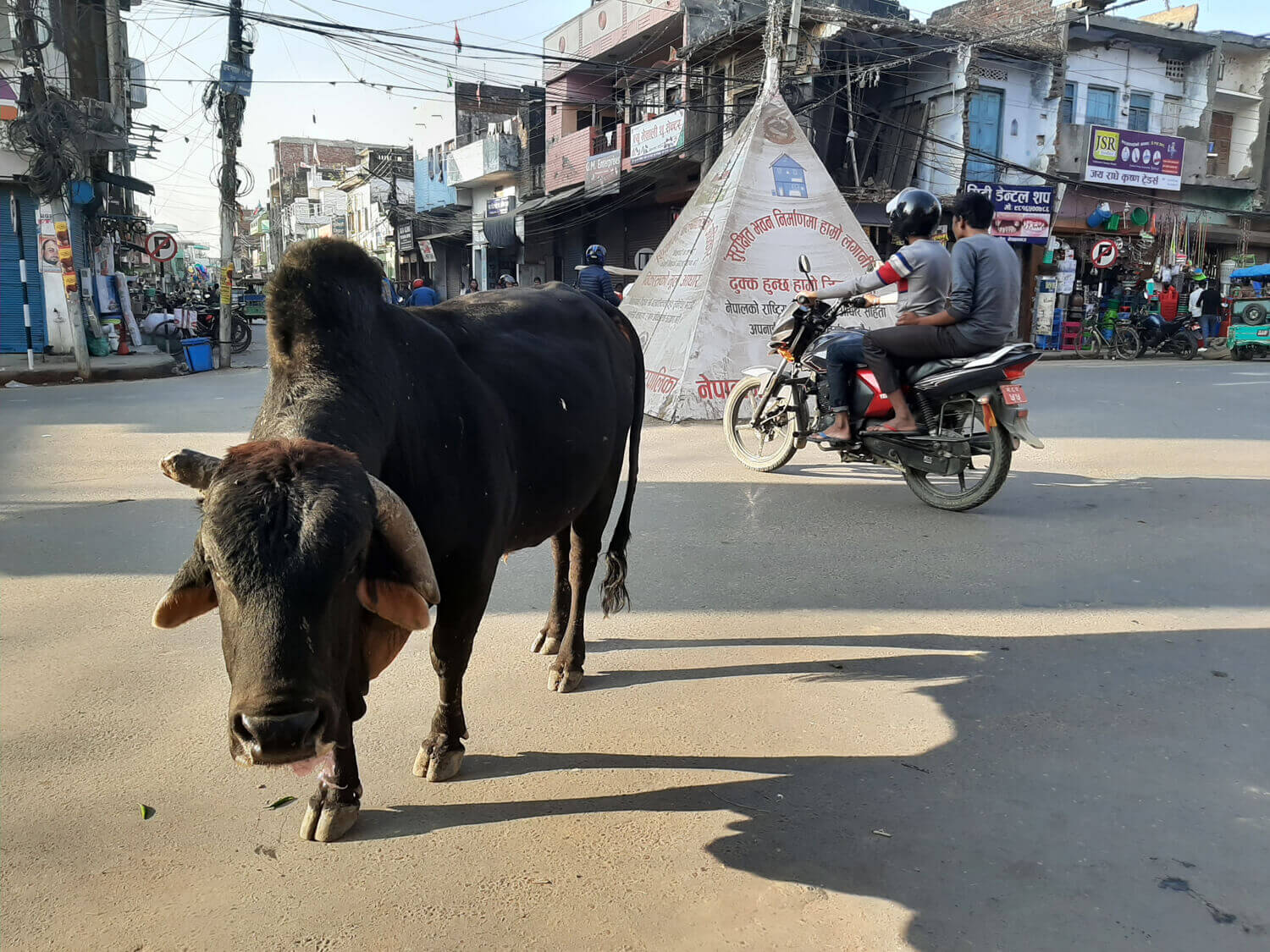 Nepal's Tarai is over-run by cattle