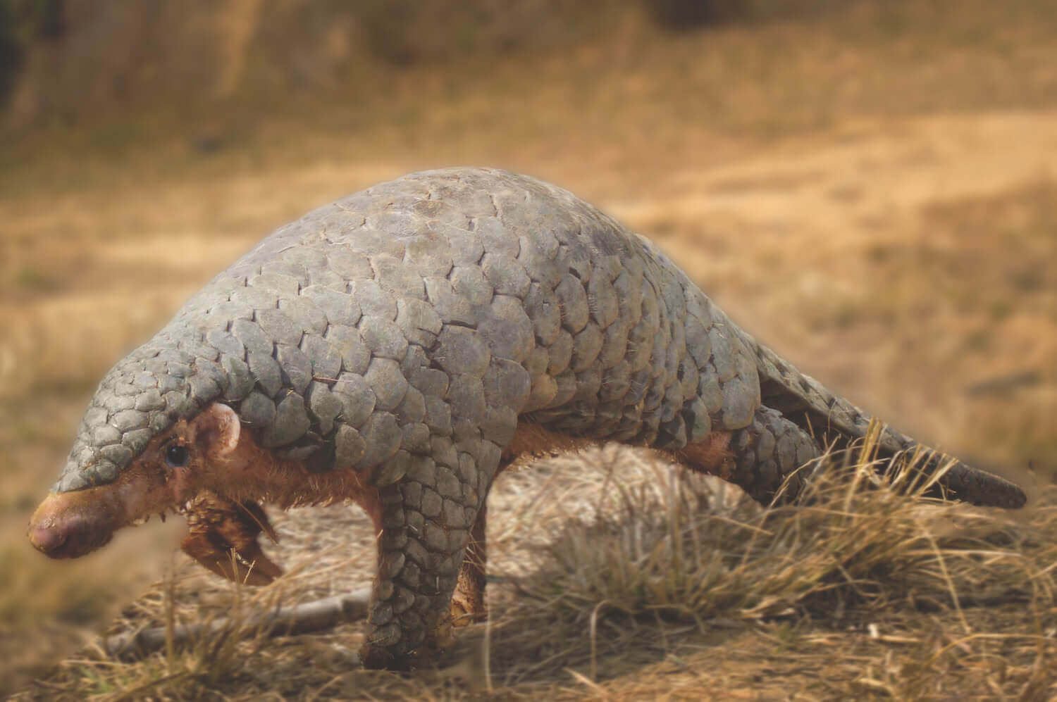 The day of pangolins