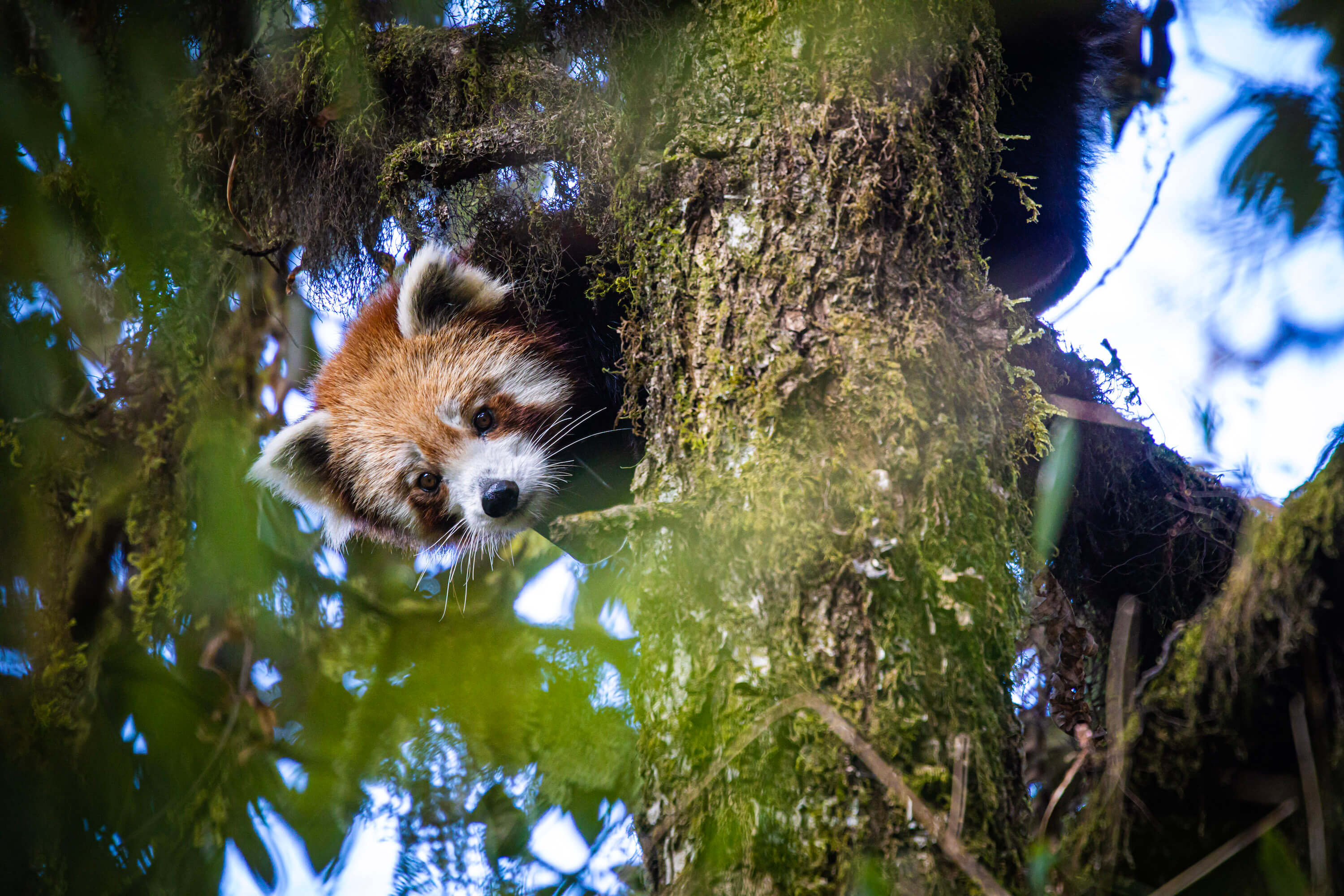 Tracking Nepal's red panda by satellite