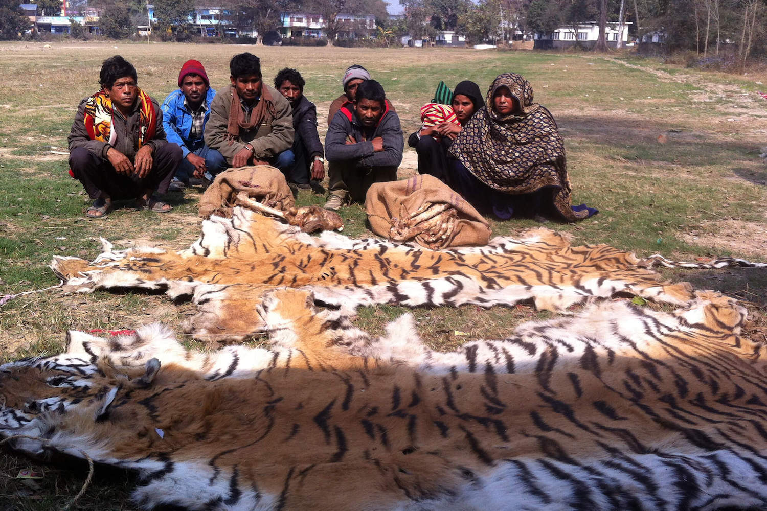 Lax laws make Nepal haven for tiger poachers