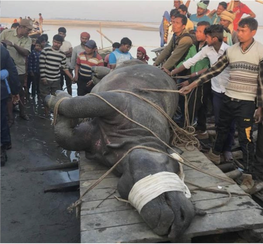 India returns Nepali rhino swept away by flood