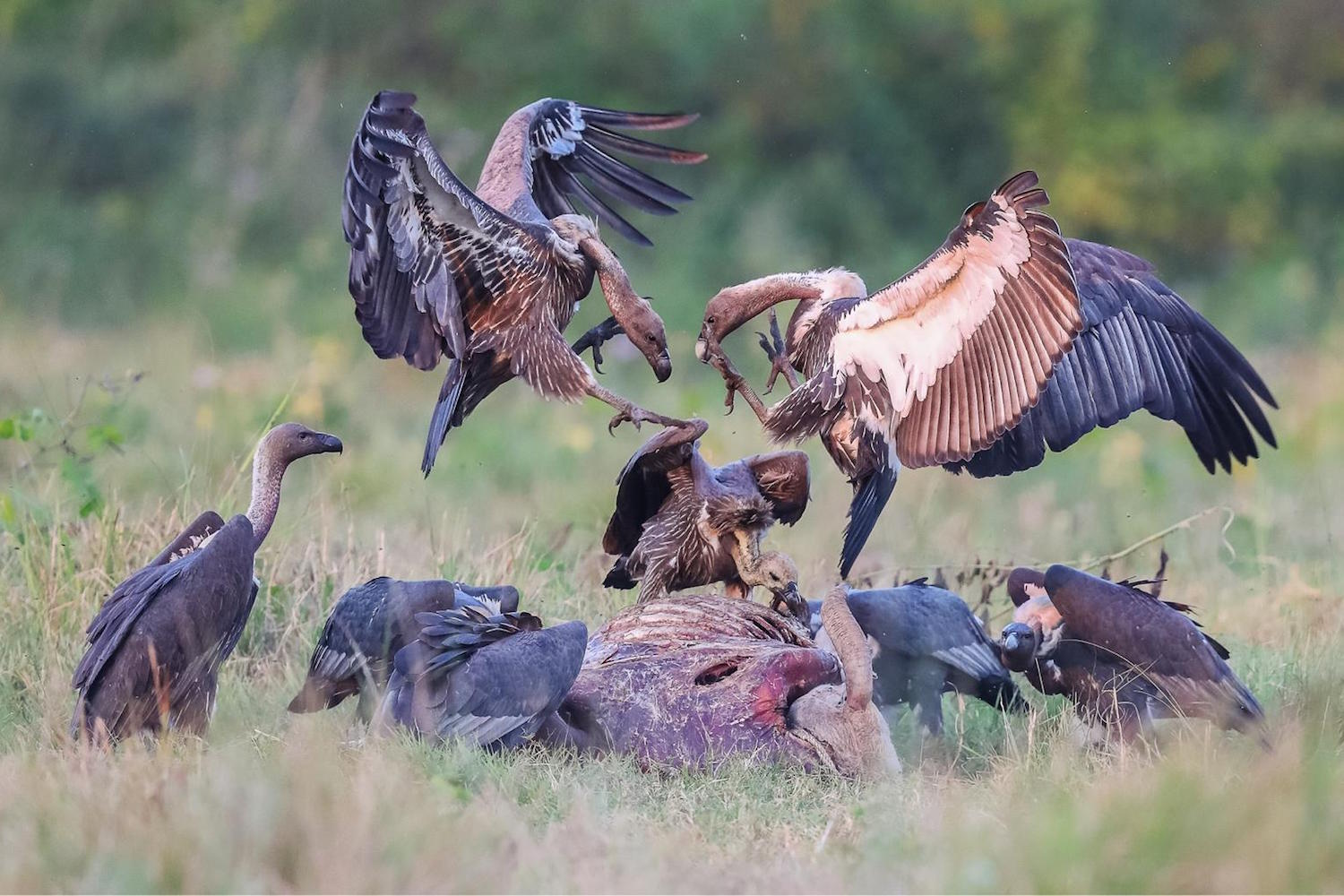 Nepal is a model for vulture conservation