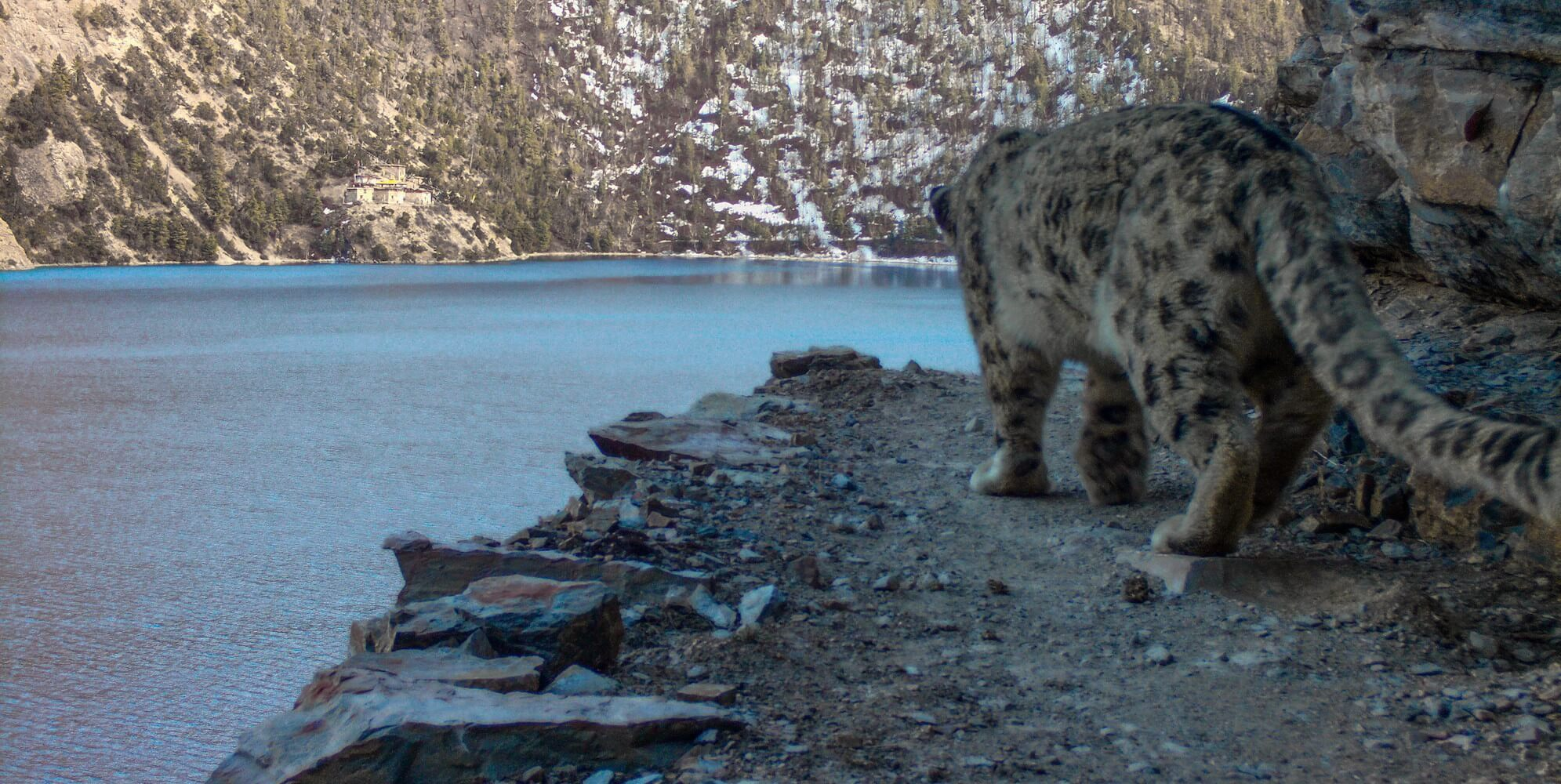 Trekking to save Nepal's snow leopards
