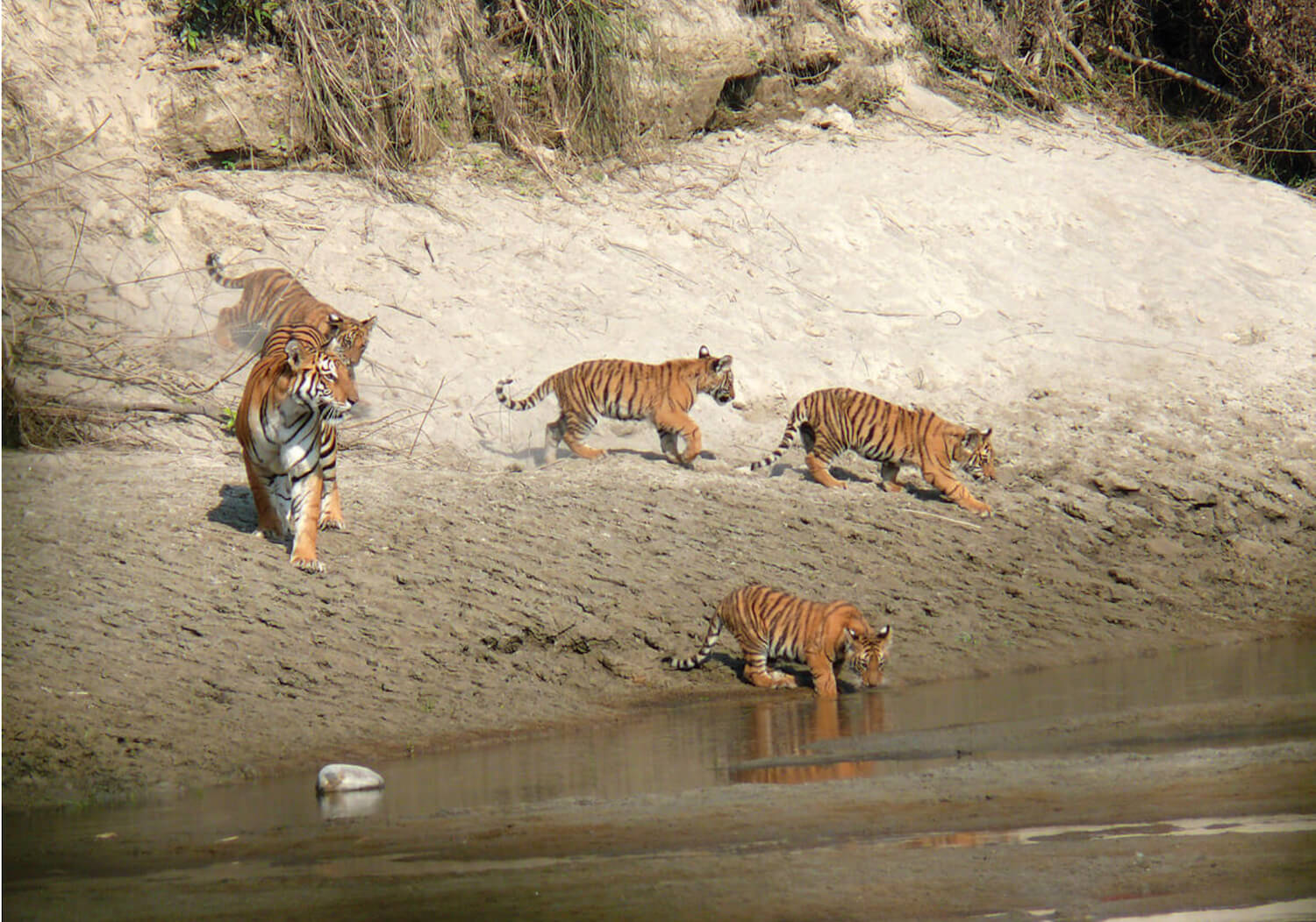 Chitwan can accommodate more tigers