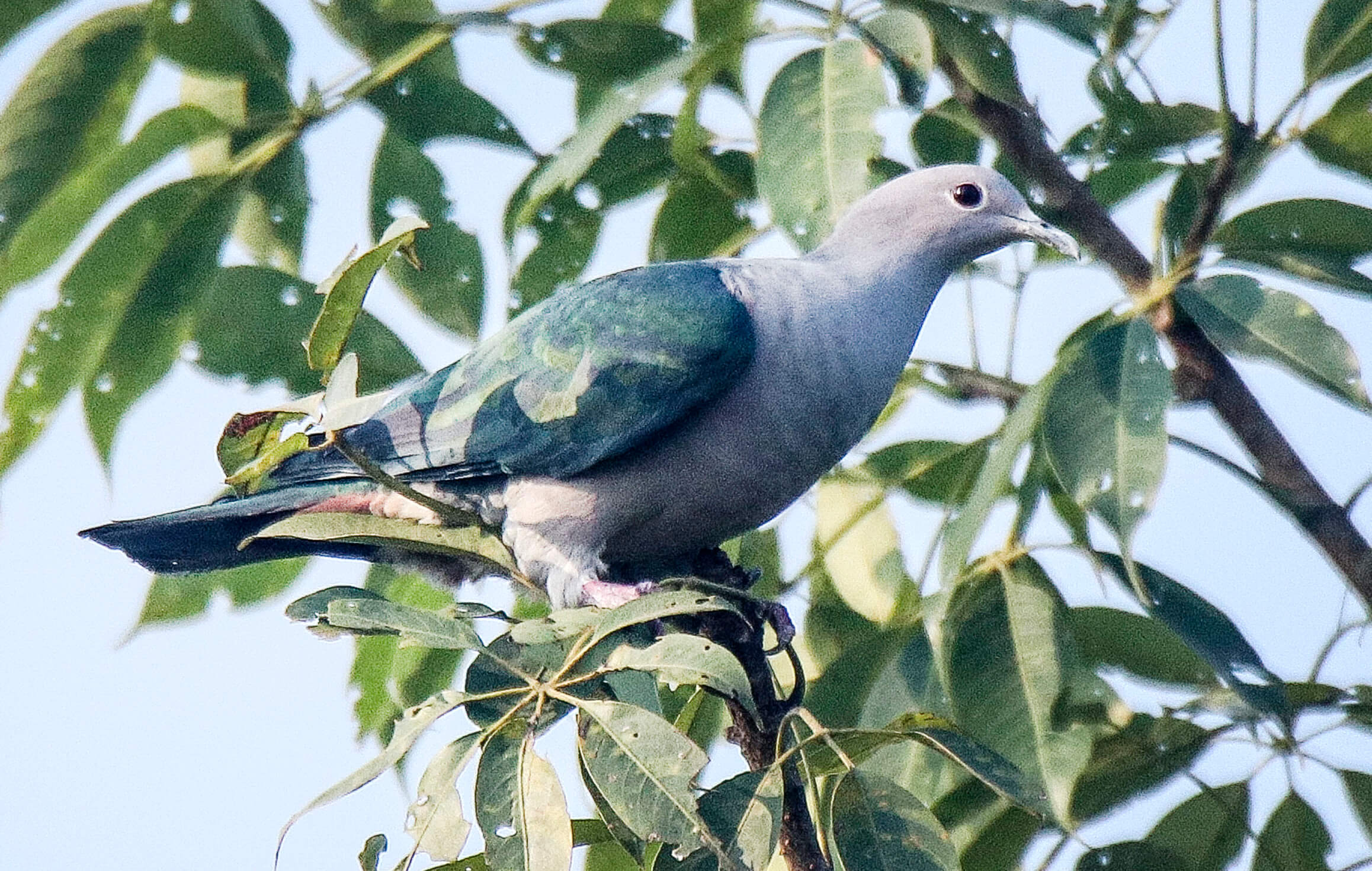 Rare wild pigeon sighted in Nepal