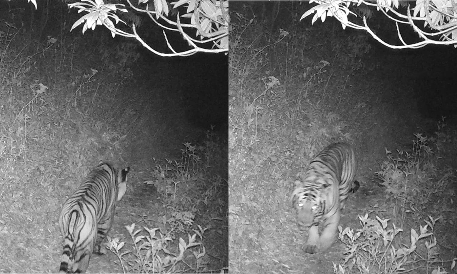 Nepal's highest-ever tiger sighting
